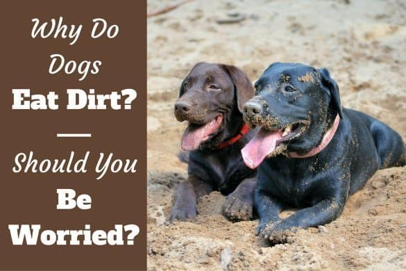 Why do dogs eat dirt written beside 2 labs laying on sand with dirty faces