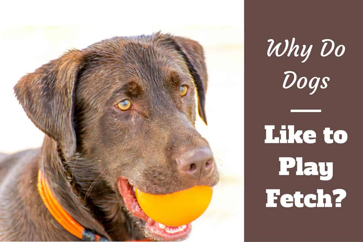 Why do dogs like to play fetch written beside a chocolate labrador holding an orange ball in his mouth