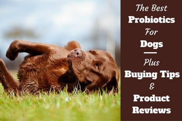 Best probiotics for dogs written beside a choc lab playfully rolling over