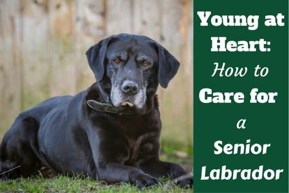 How to care for a senior lab written beside a black lab with grey muzzle laying on grass
