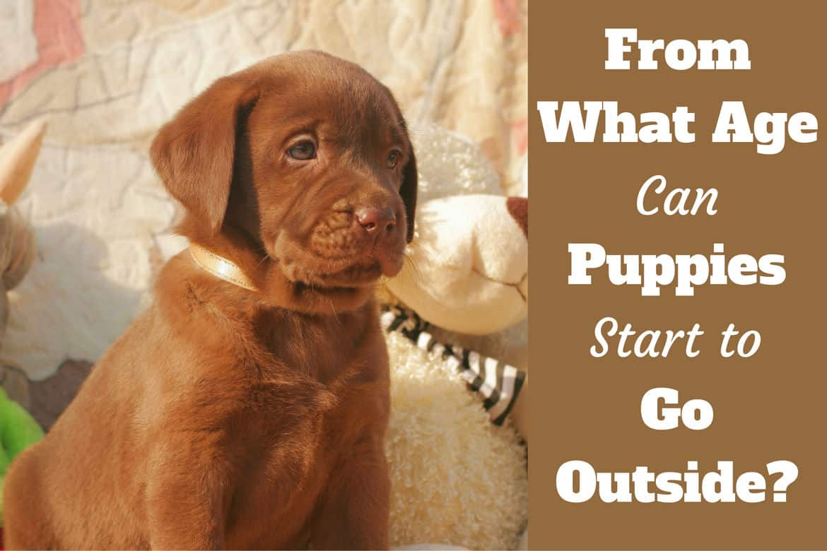 When Can Puppies Go Outside Written Beside A Cute Choc Puppy Sitting At Home Next To