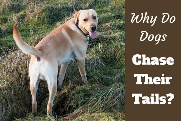 Which Breed Dogs Keep Their Tails Up
