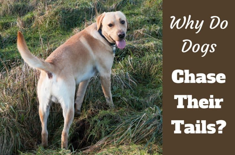 Why do dogs chase their tails written beside yellow lab with tail toward camera standing on grass