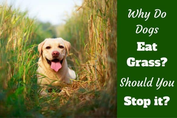 Why do dogs eat grass written beside a yellow lab smiling into camera, sitting in very long grass