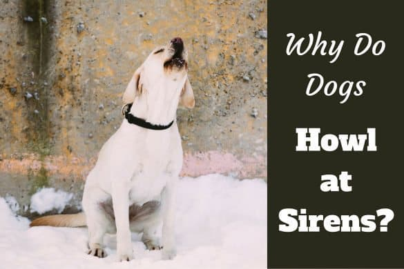 Why do dogs howl at sirens written beside a howling labrador