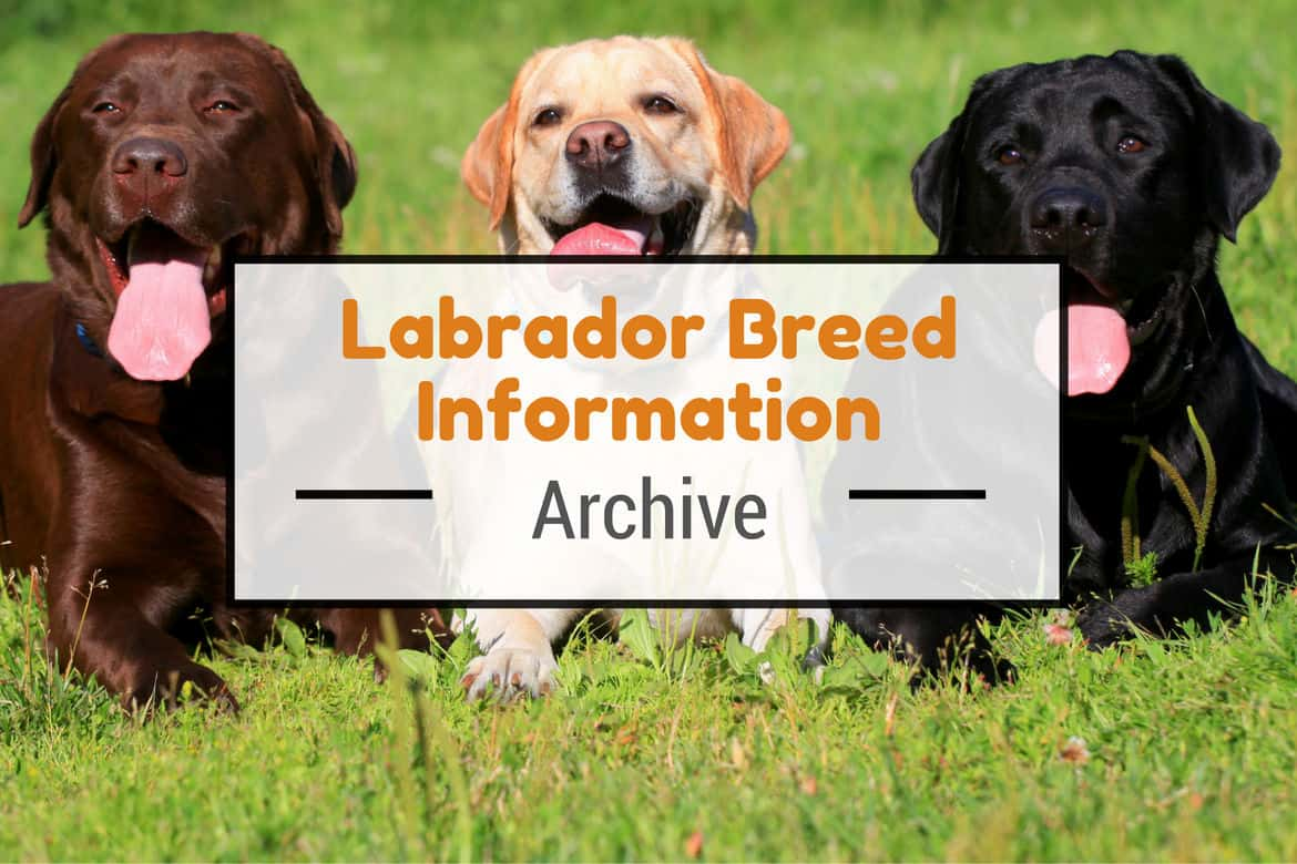 Labrador Breed Information Facts Figures Trivia