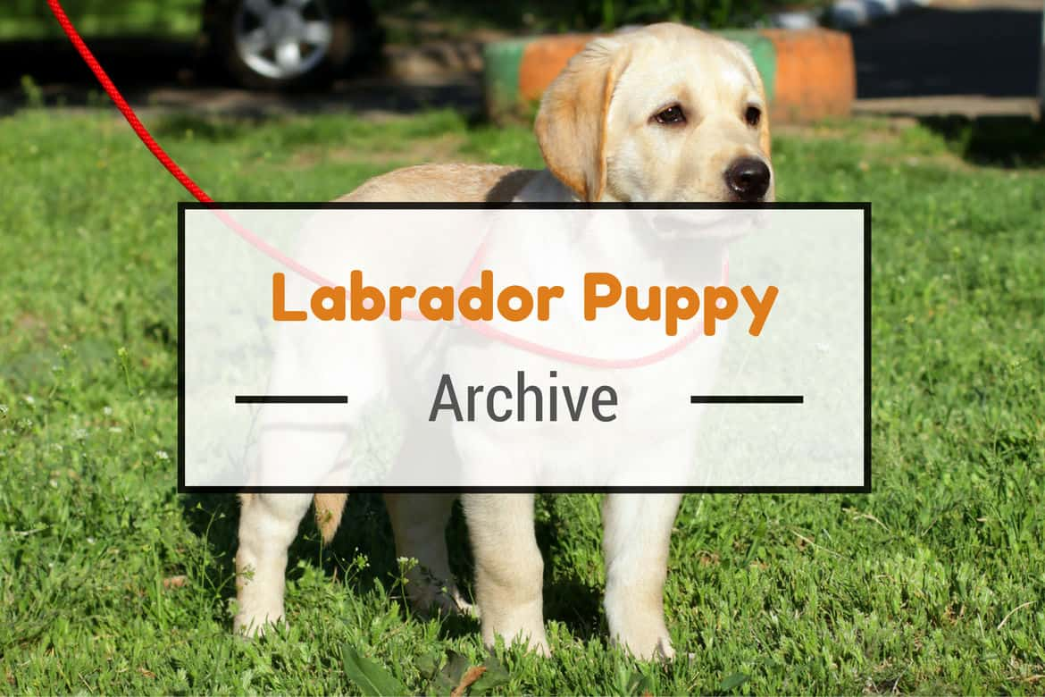 Yellow labrador puppy standing on grass, staring into but past the camera