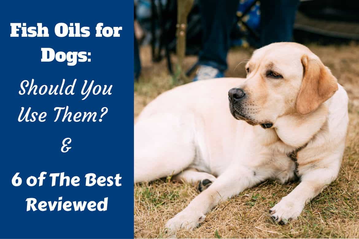 Best fish oil supplements for dogs written beside a yellow labrador lazing on grass