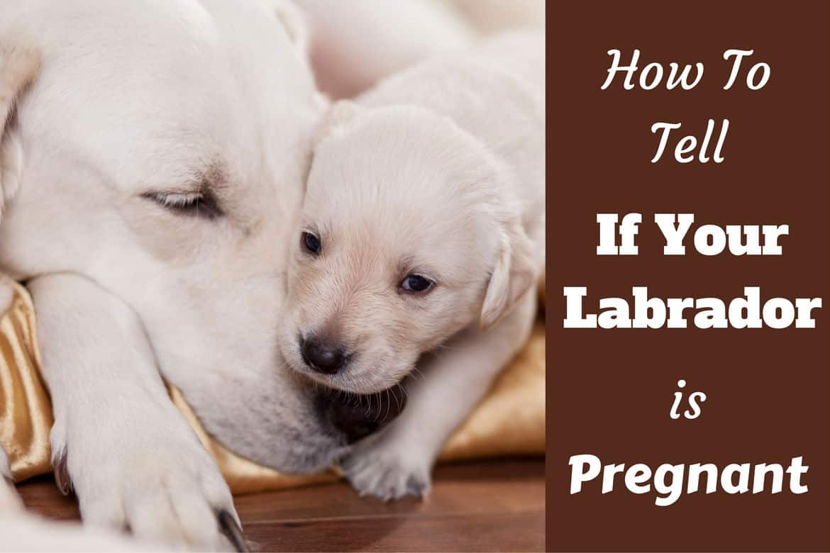 How to tell if your lab is pregnant written beside a labrador mum and pup