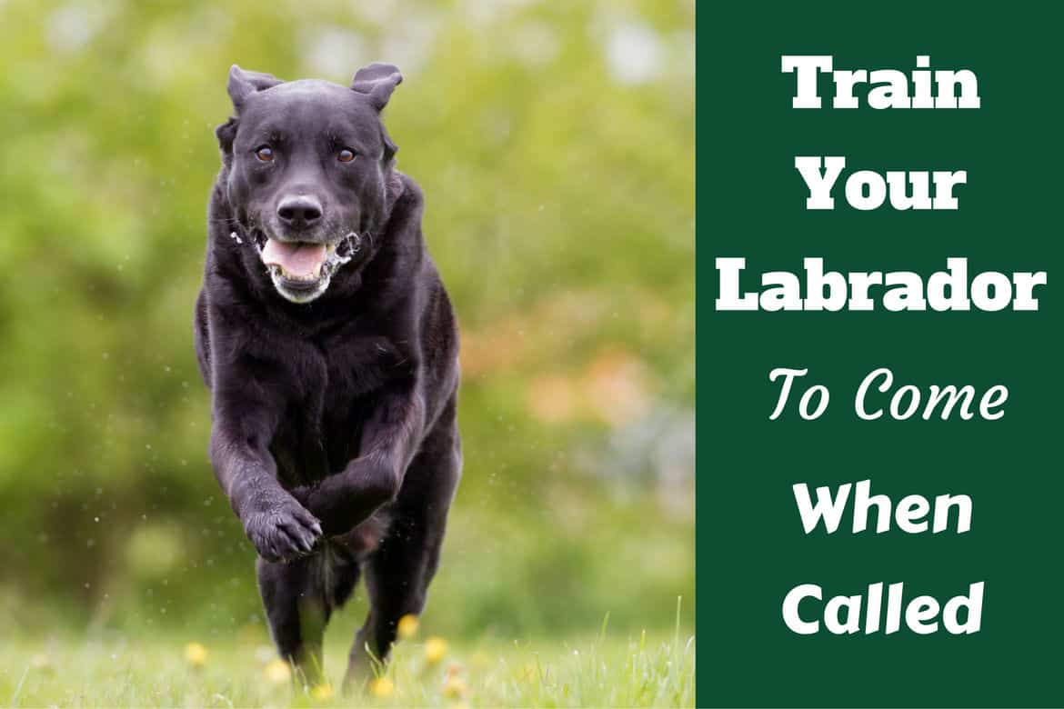 train your labrador to come when called written beside a black lab running to camera