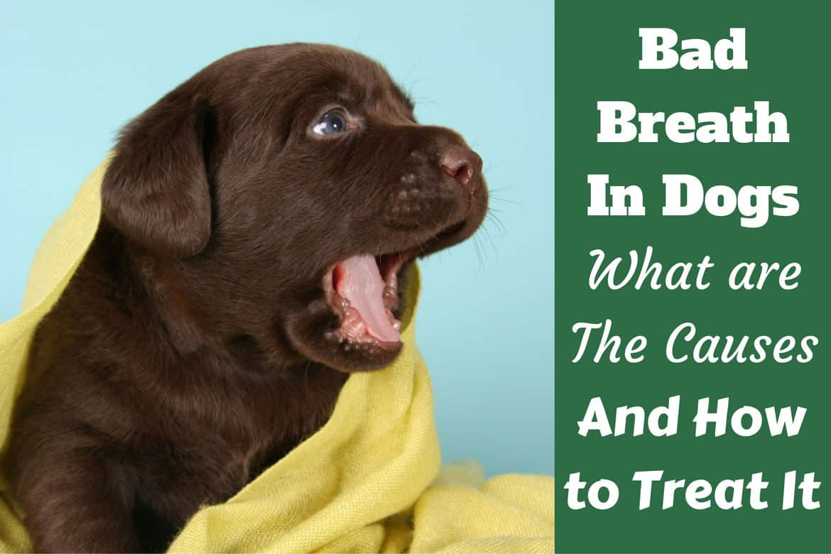 Bad breath in dogs written beside a yawning chocolate labrador