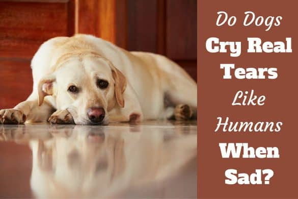 Do dogs cry real tears writtenbeside a sad looking yellow labrador