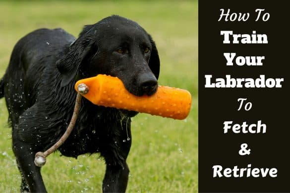 How to train your labrador to fetch written beside a black lab retrieving a dummy from water