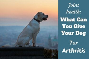 What can I give my dog for arthritis written beside a aide view of a yellow lab sitting at dusk