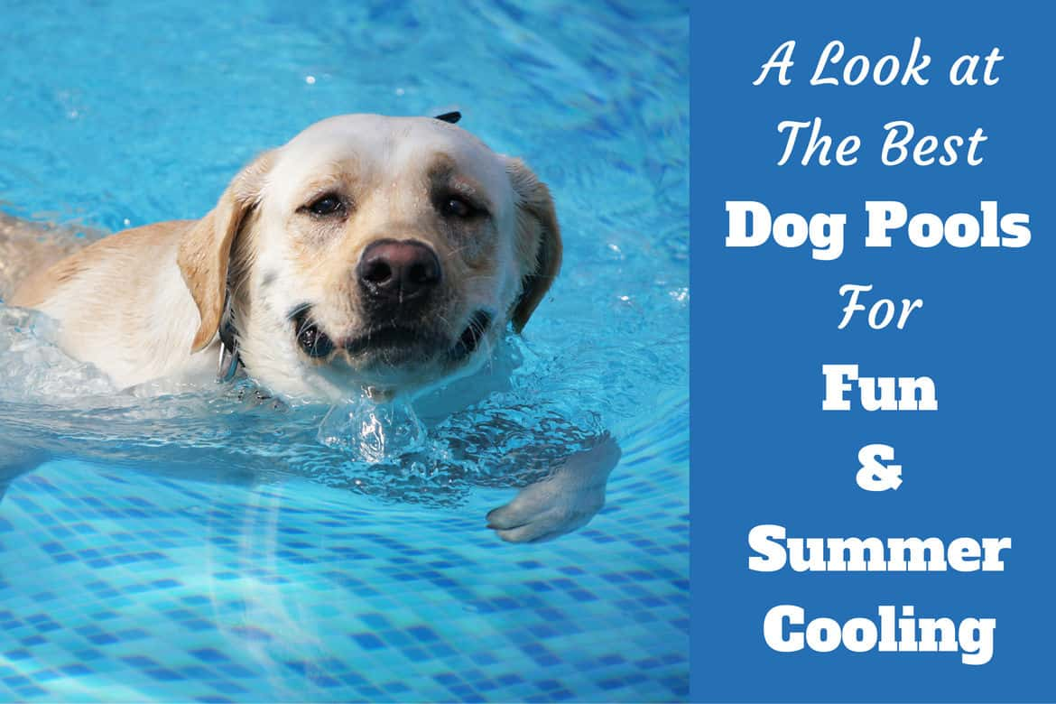 A look at the best dog pools written beside a happy yellow lab taking a swim