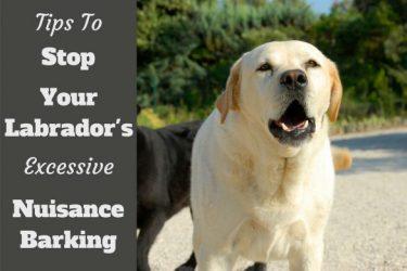 How to Stop labrador barking written beside a yellow labrador barking at camera
