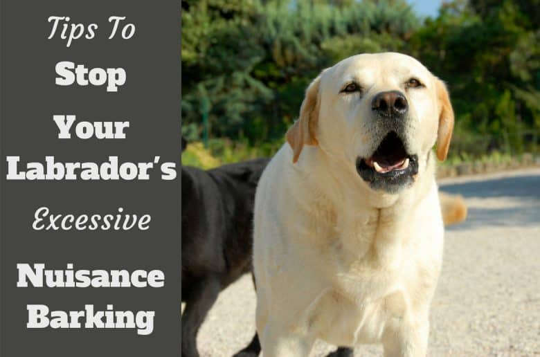 How to Stop labrador barking written beside a yellow labrador barking at camera