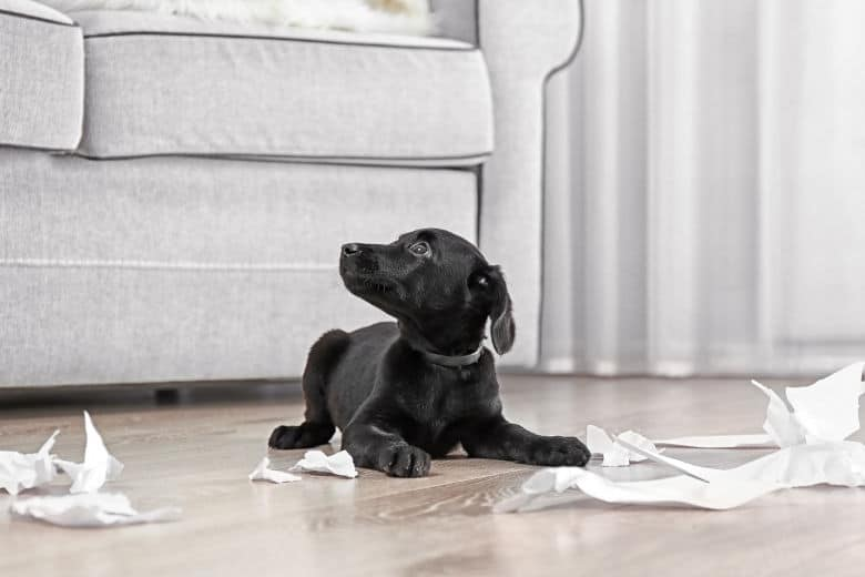 Black Labrador puppy surrounded by pieces of chewed paper on wooden floor