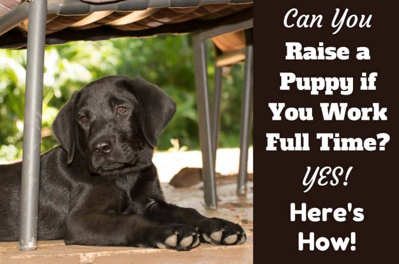 how to raise a puppy if you work full time written beside a black lab puppy sitting under a garden chair
