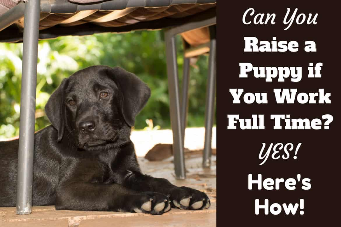 How To Raise A Puppy If You Work Full Time Written Beside Black Lab