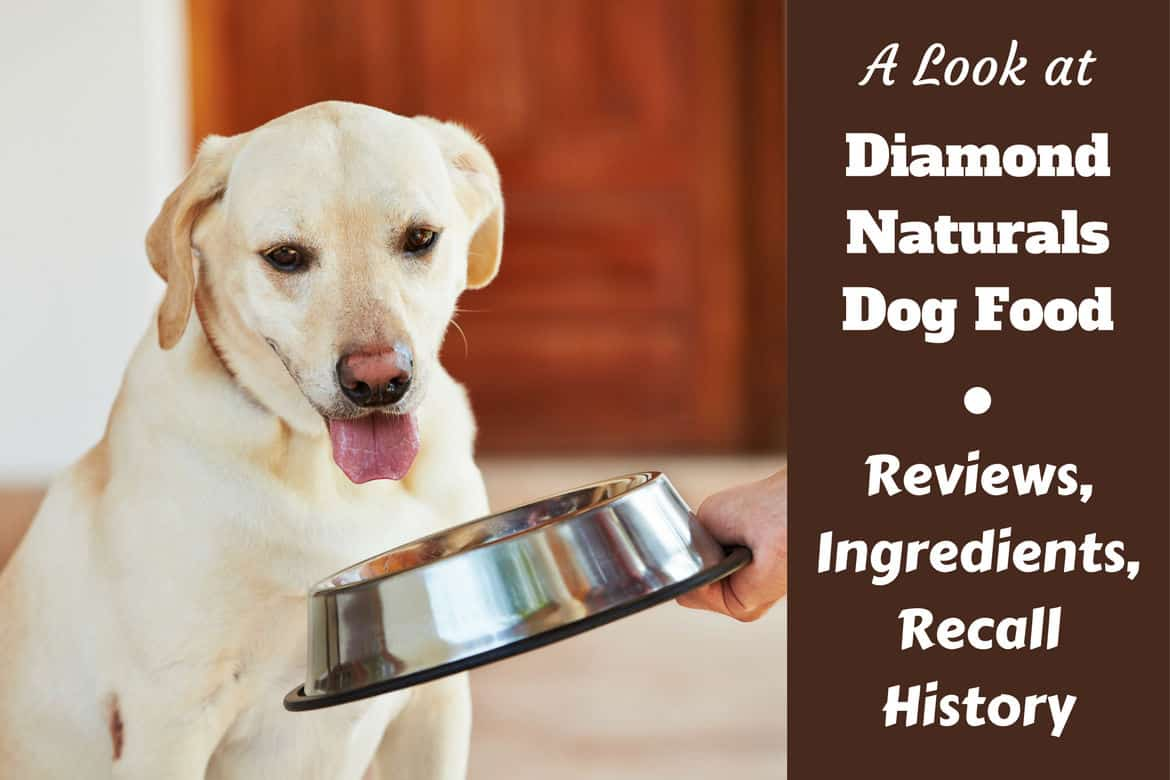 Diamond Naturals dog food review and recall history written beside a hand feeding a yellow lab a silver bowl