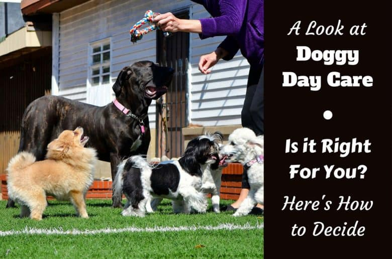 A look at doggy day care written beside a few dogs being treated by a handler at day care