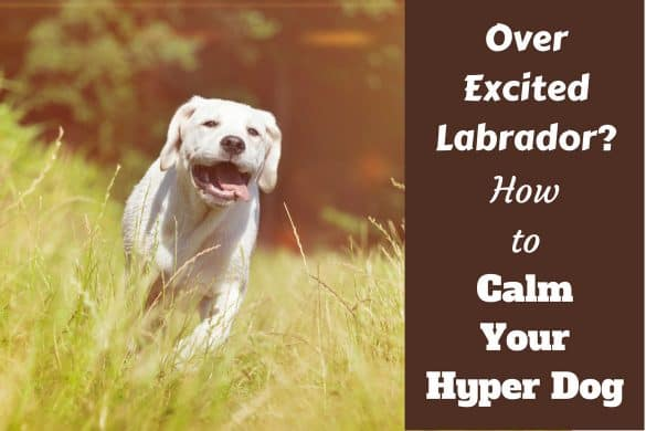 How to calm a hyper dog written beside a yellow labrador sprinting toward camera through long grass