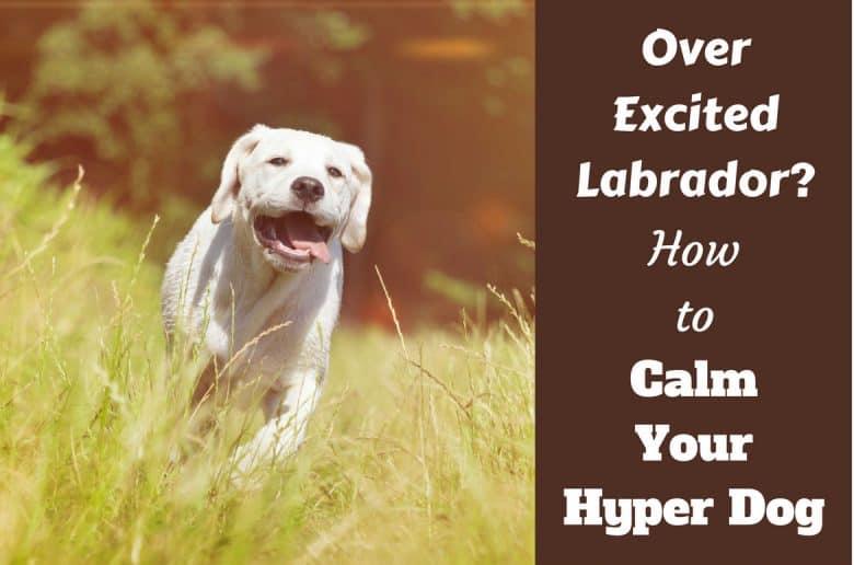How to calm a hyper dog written beside a yellow labrador sprinting toward camera through long grass