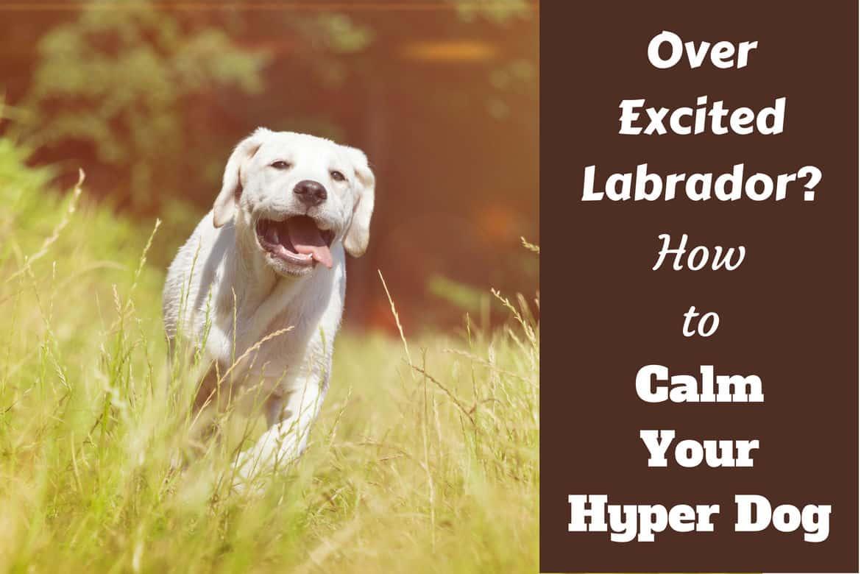 How To Calm A Hyper Dog Written Beside Yellow Labrador Sprinting Toward Camera Through Long
