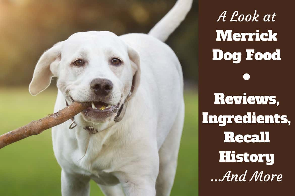 A look at Merrick dog food reviews, ingredients and recall history written beside a yellow labrador carrying a stick