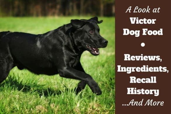 Victor Dog Food Reviews, ingredients and recall history written beside a black lab running on grass