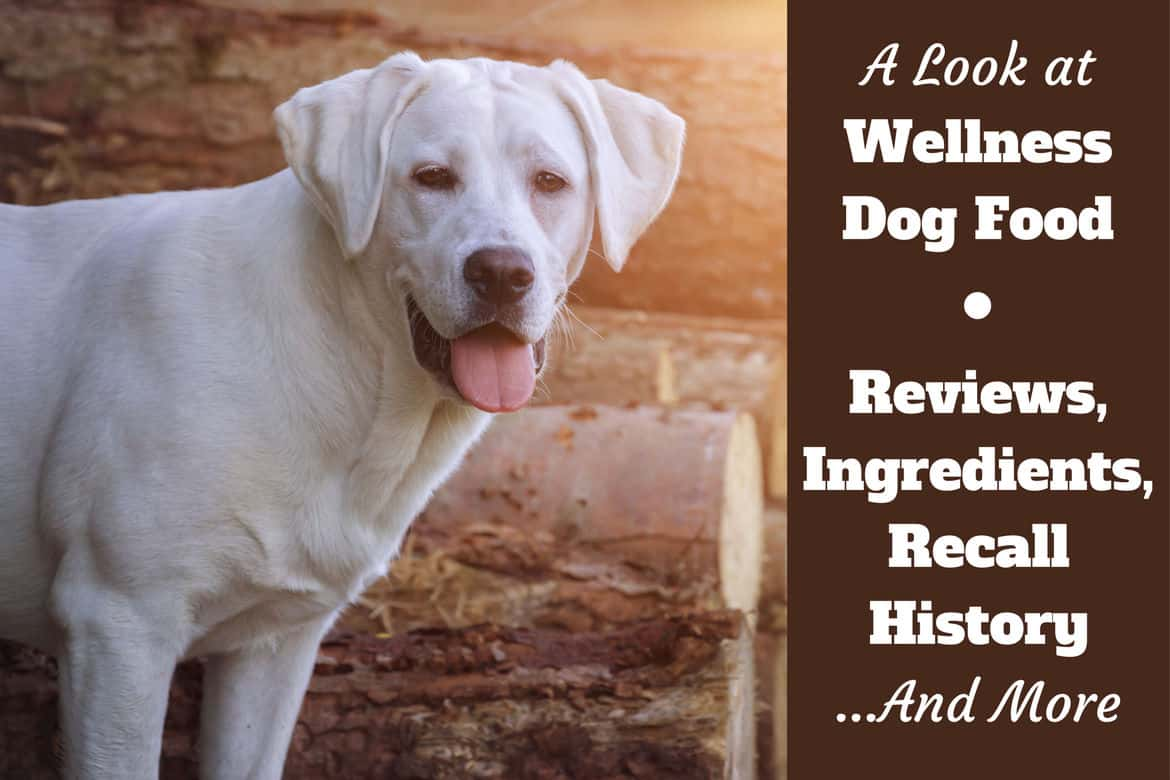 Wellness dog food reviews, ingredients, recall history written beside a yellow lab standing in front of a log pile