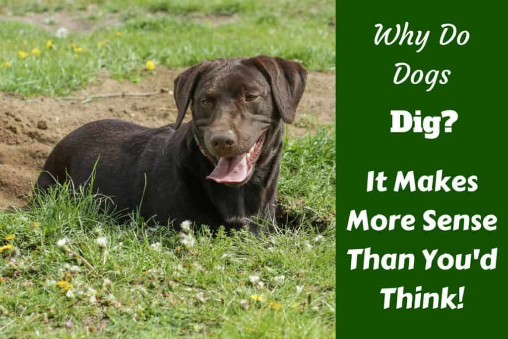 Why do Dogs Dig? There's Many More Reasons than You Think!