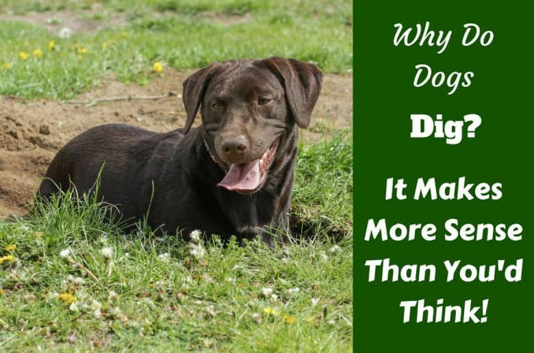 Why do dogs dig written beside a chocolate labrador relaxing in a small dig out he's just finished