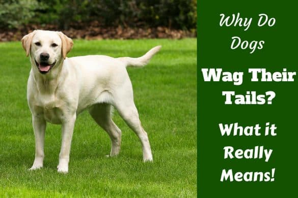 Why do dogs wag their tail written beside a yellow labrador standing on grass