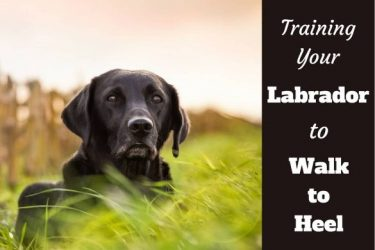 Training your labrador to walk to heel written beside a black lab in long grass staring into camera