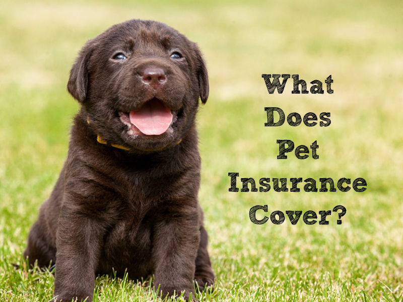 What Does Pet Insurance Cover? The 7 Options You Want for Your Lab