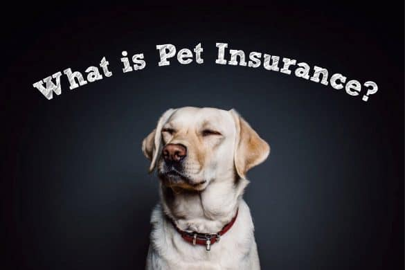 labrador wondering about insurance