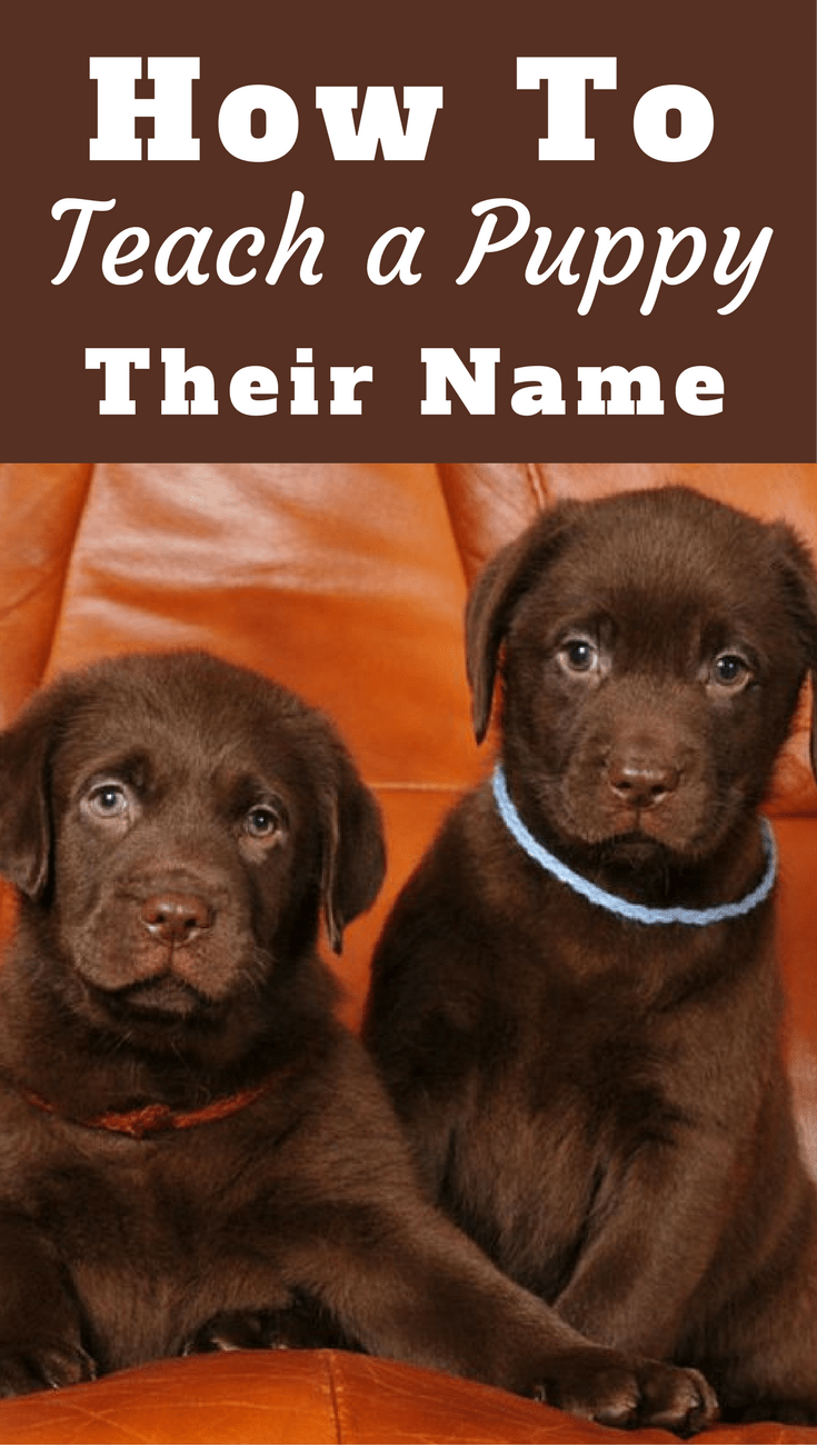 Most people don't know how to teach a puppy its name...or how to use it properly. Read 10 easy steps to teaching your puppy's name and how you should use it.