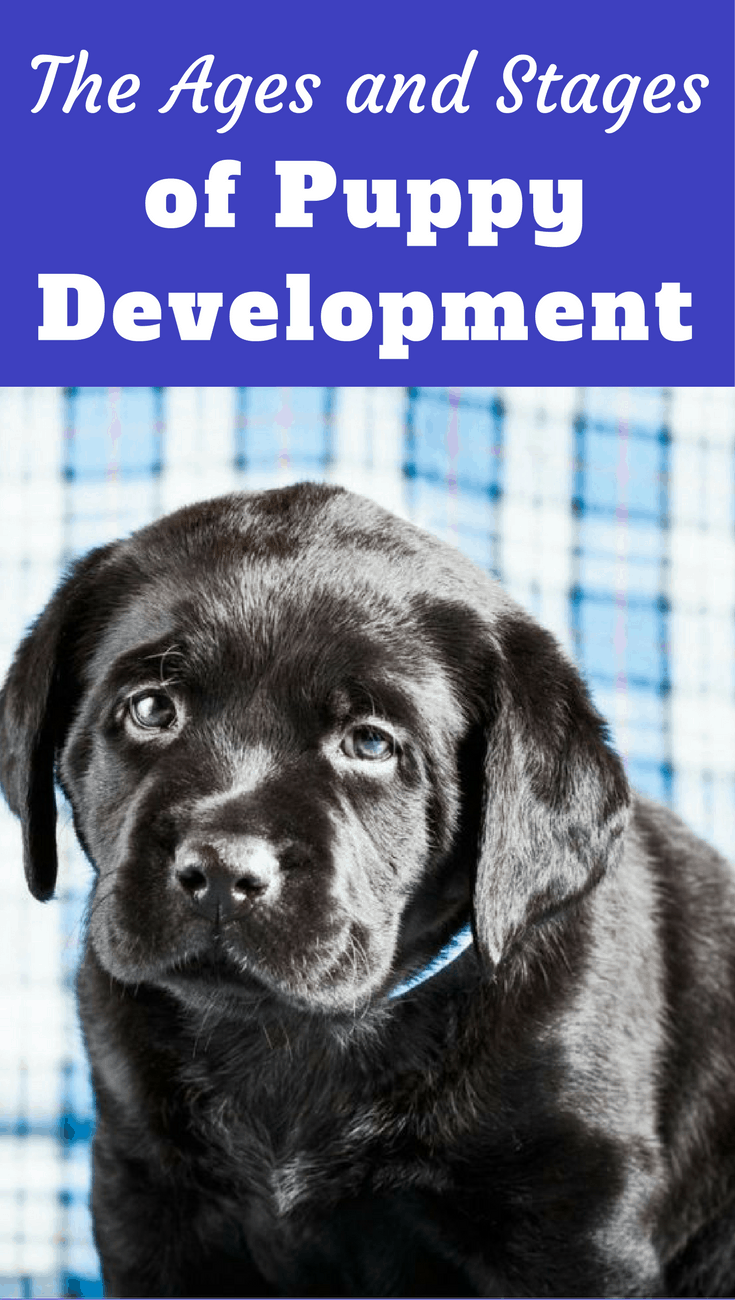 It's important to know the stages of puppy development, so you know what to expect at what times, and what you should be teaching your puppy at each age.