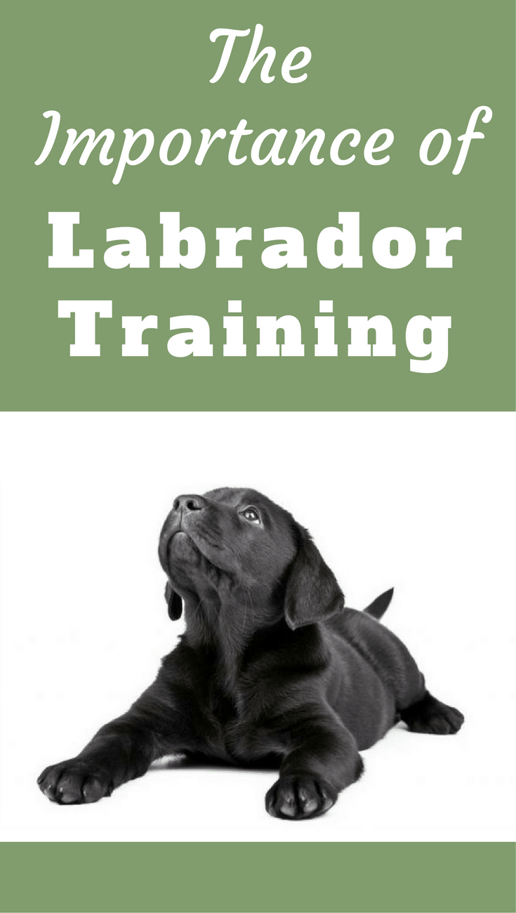 The importance of Labrador training is the quality of life you and your Labrador enjoy, depends entirely on the success you achieve in training your Lab.