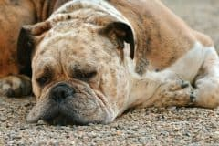 What Can I Give My Dog For Pain Otc Pain Medications For Dogs 2020