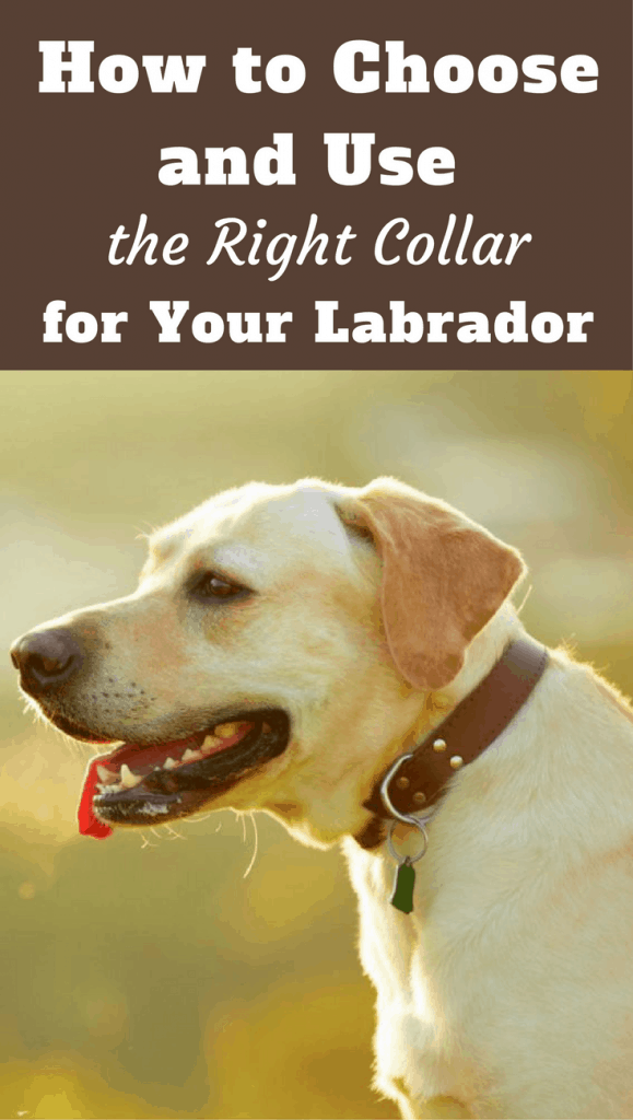 With many types and styles available, choosing a collar for your Labrador isn't as simple as you think! This article will help you make the right decision.