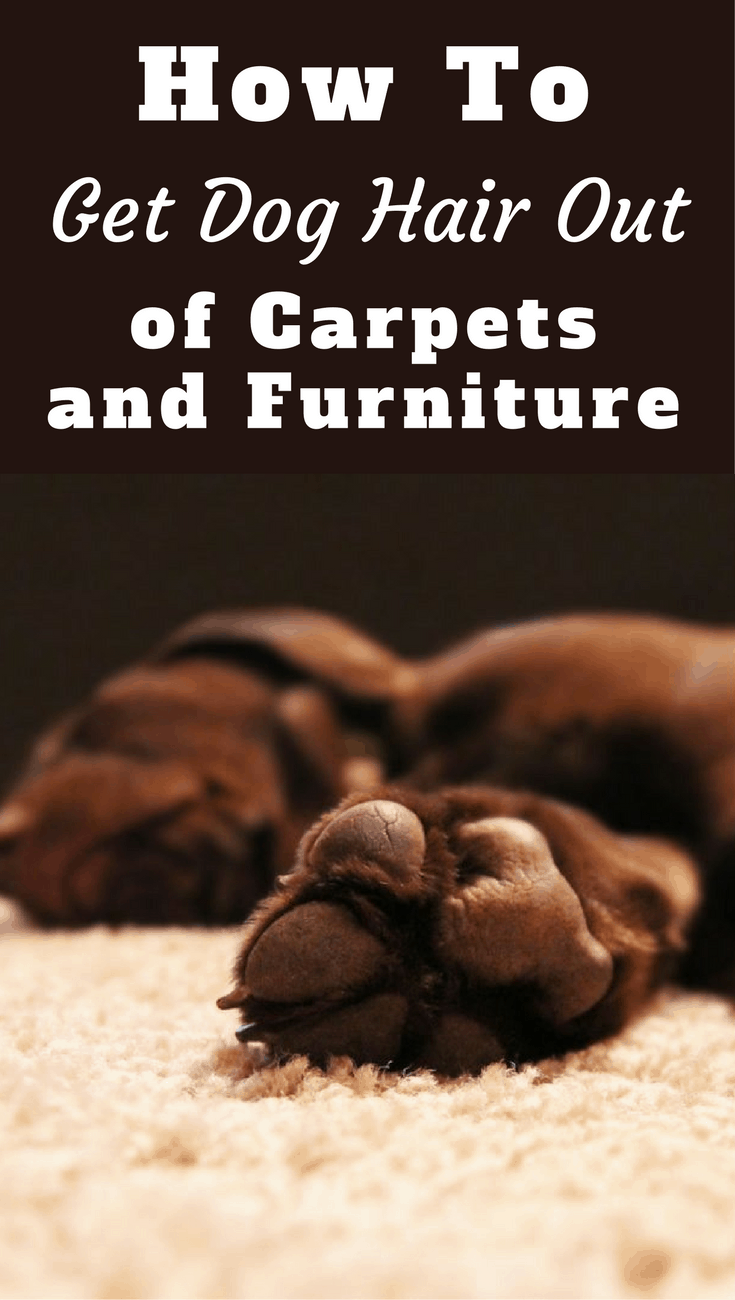 How to get dog hair out of carpet and furniture if It gets deeply embedded and hard to remove? We discuss here the best methods, tips and tricks.