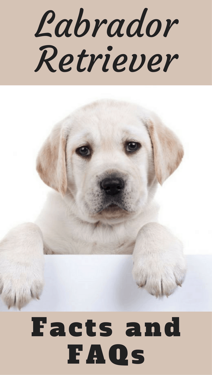 Got a question on Labradors? This article has facts and answers on the most common questions asked. Short, to the point, while linking out to further info.