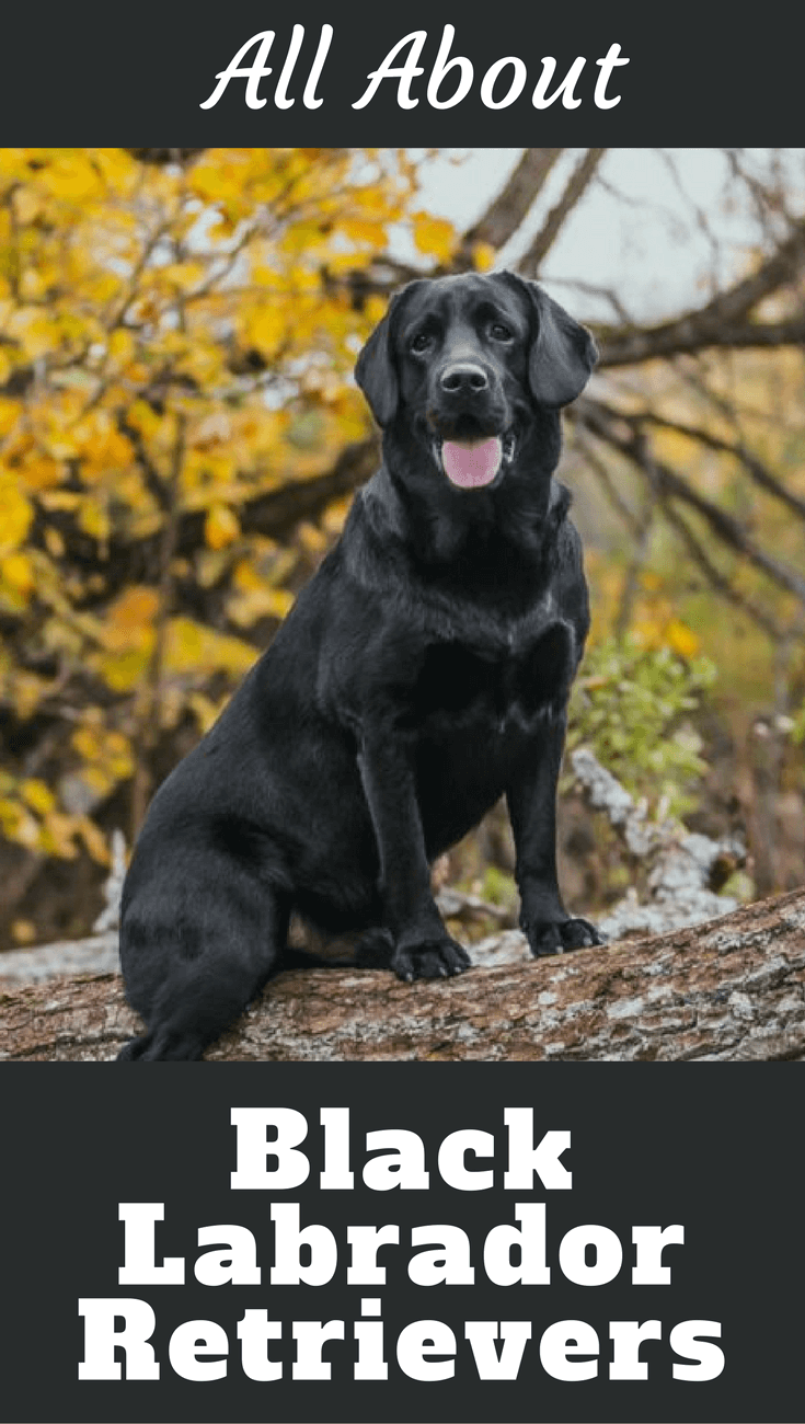 The Black Labrador Retriever has historically been the most popular of the three Labrador colors, especially within the hunting fraternity.