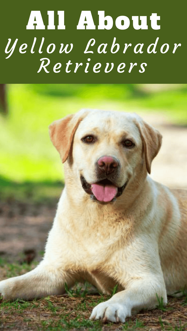The yellow Labrador Retriever can range in color from almost white right through to fox red but all of these shades are collectively registered as yellow.