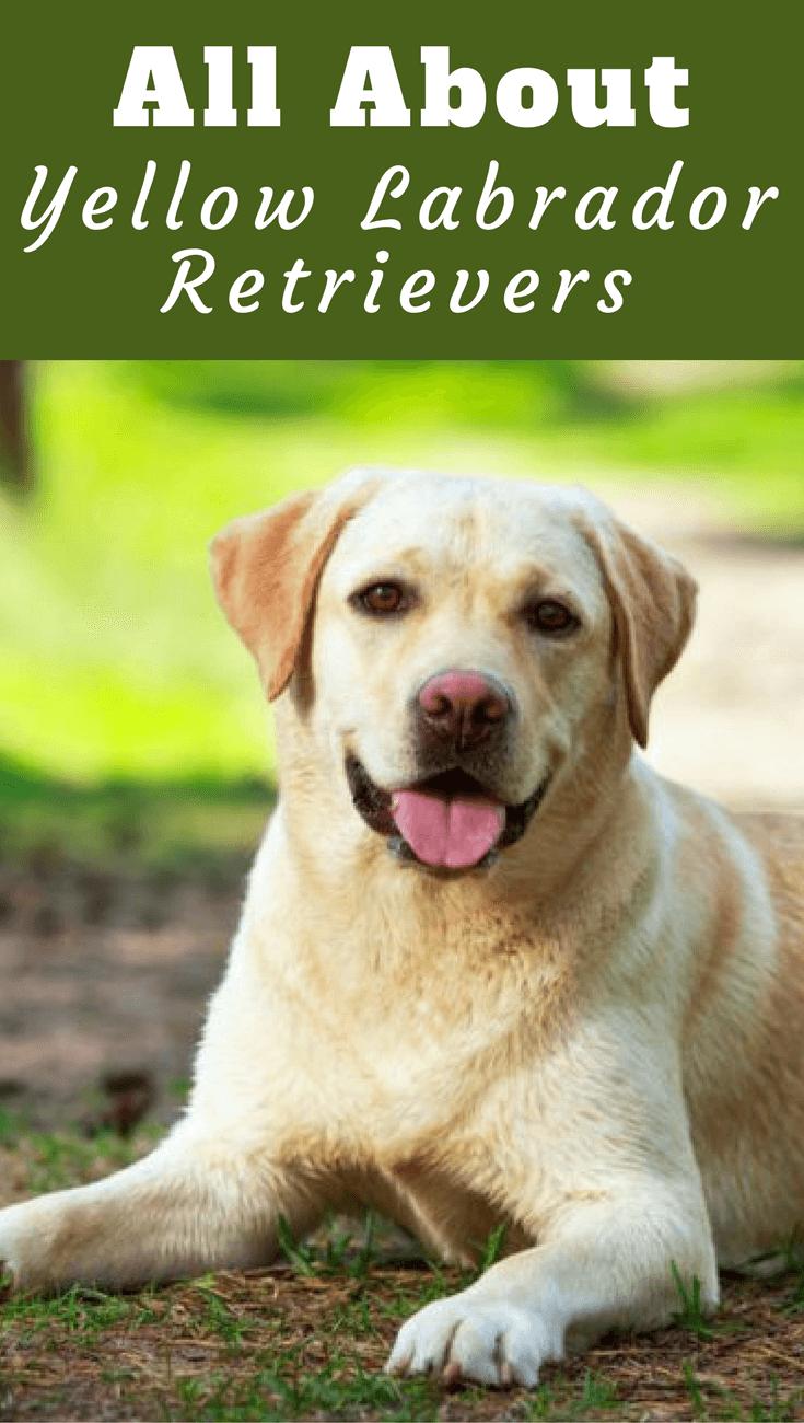 Yellow Labrador Retriever Facts Labrador Training Hq