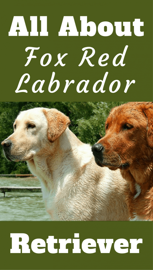 Red Lab Facts 101 Surprising Truths About The Fox Red Labrador Retriever
