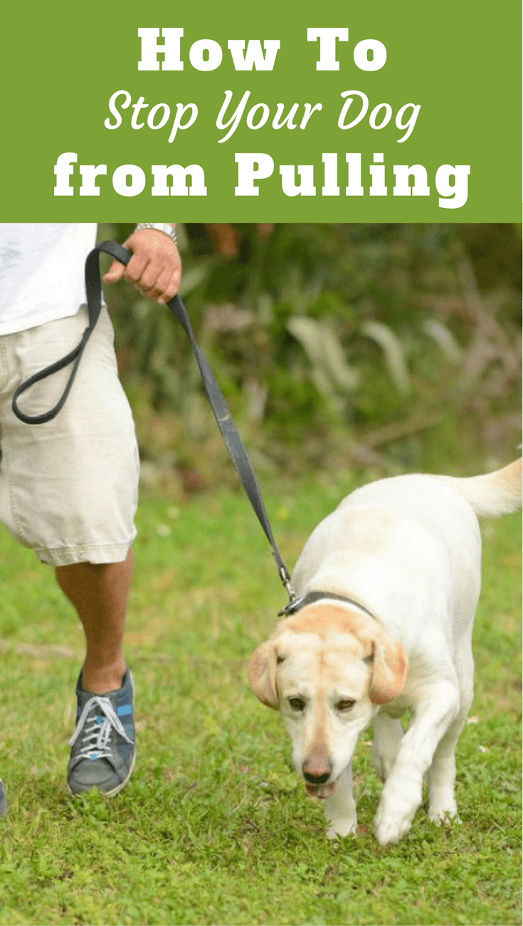 Labradors are strong and many love to pull. Learn how to stop your dog from pulling in this information packed guide. Easy to follow, great results!